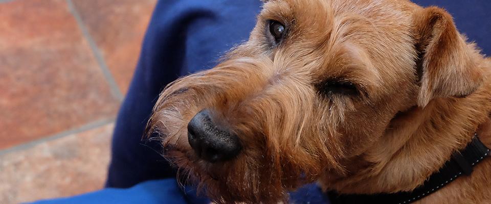 Hund på blå filt