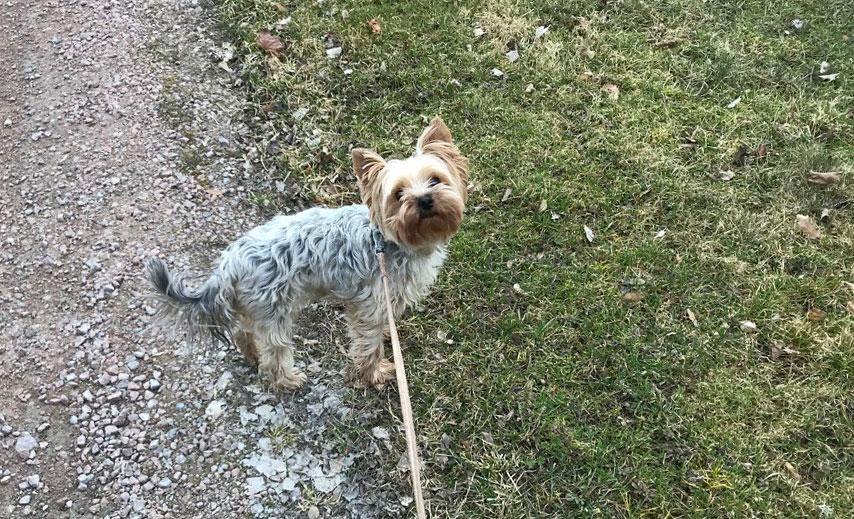 Hund på promenad med R4